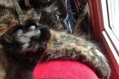 iPad photography: talk to the paw of marley ----------- viewed 239x (norlandcruz74) Tags: portrait pet cats pets animal animals closeup cat feline cruz felines paws marley ipad norland