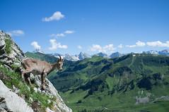 Bouquetin, Lac de Peyre (Jean-Marc Bruneton) Tags: france wildanimal animalplanet bouquetin lacdepeyre bruneton
