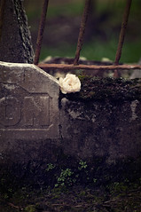 A rose for William 220/365 (*Jilltoo) Tags: cemetery grave rose dark remember ancestor getty
