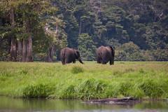 Loango - Elephant Pair 5 (janhamlet) Tags: africa elephant green animal animals tiere nationalpark wildlife safari cc creativecommons afrika elephants animaux elefant afrique gabon loxodonta elefanten elephantidae centralafrica 2013 loango gabun zentralafrika africanforestelephant
