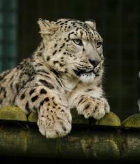 WHF 119 ([ Greg ]) Tags: snow heritage weather wildlife foundation leopard bigcat bigcats panthera headcorn uncia whf