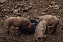 Piglets (Vladimir Kolesnikov Photography) Tags: new york ny nature monochrome animals farmhouse pig nikon mud outdoor farm sigma upstate dirt pigs piglet 1770 piglets d5000