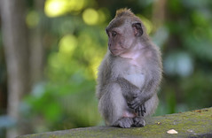 Nobody wants to play with me ? (Fredouce) Tags: bali baby indonesia bokeh wildlife bebe indonesie longtailedmacaque macacafascicuiaris greaterphotographers