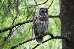 Barred Owl (DFChurch) Tags: bird florida swamp owl corkscrew barred audubon strixvaria