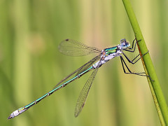 Male Emerald damselfly (Roger H3) Tags: insect damselfly emerald odonata
