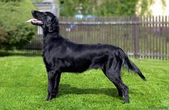 Forrest (ZejdlaCZ) Tags: dog black flat retriever flatcoat coated d7000 brianta