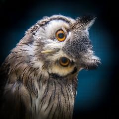 Peeking (10000 wishes) Tags: portrait cute nature photo wildlife photograph raptor owl