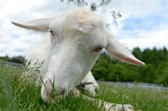 20140613 Yatsugatake 6 (BONGURI) Tags: nikon meadow goat pasture yamanashi kiyosato ヤギ sigma20mmf18exdgasphericalrf 山羊 山梨 牧場 hokuto 清里 やぎ makibapark 北杜 まきば公園 d7000 まきば