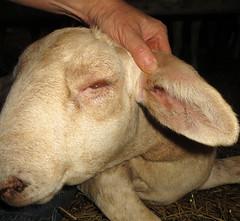 Lamb facial edema