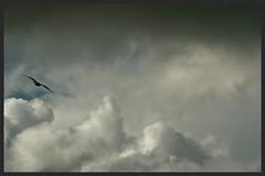 Gull glides in the wind (Zelda Wynn) Tags: weather clouds wind gull flight auckland cumulus artgalleryofnsw gliding troposphere inspiredbyalfredstieglitz zeldawynnphotography