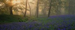 Blackbury revisited (jebob) Tags: morning flowers light sunlight bluebells woodland dawn peaceful devon tress blackburycamp