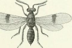 Anglų lietuvių žodynas. Žodis chalcid fly reiškia chalcid skristi lietuviškai.