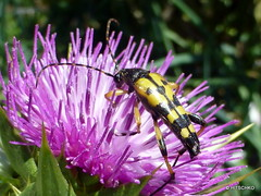 Gefleckter Schmalbock (Leptura maculata) (HITSCHKO) Tags: kfer coleoptera cerambycidae bockkfer lepturamaculata gefleckterschmalbock