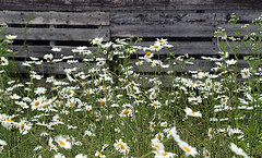 0008119 (To all that visit, Thank you) Tags: flowers canada flower fence nb daisy bloom ©allrightsreserved nbphoto