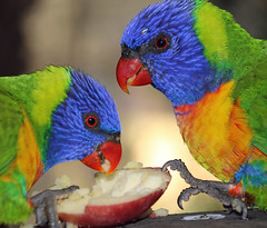 Morning visitors (LSydney) Tags: bird lorikeet parrot rainbowlorikeet