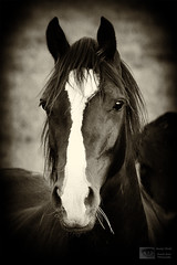 Beauty (Mandy Jervis Photography - Beady's World) Tags: portrait horse pet white black animal stare blaze equine