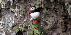 365/52WEEK 52 WEE PUFFIN BALANCING SKILLS (mootzie) Tags: orange bird feet scotland aberdeenshire cliffs puffin colourful webbed fowlsheugh