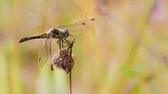 Black Darter (Trond Strmme) Tags: oslo dragonfly bjerke yenstikker libeller blackdarter sympetrumdanae blackmeadowhawk rvoll wildlifewednesday svarthstlibelle