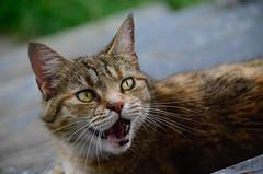 Well alright meow... (Christopher Wallace) Tags: cute face animal digital cat nose virginia eyes furry nikon kat feline chat adorable kitty ears whiskers va stray meow neko katze lacy 18200 kot miauw radford poesje southwestvirginia 18200mm newrivervalley 18200mmvr d7000