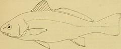 Anglų lietuvių žodynas. Žodis yellowfin croaker reiškia geltonpelekis croaker lietuviškai.