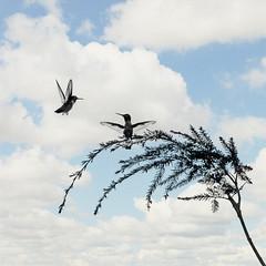 BBFFs (1crzqbn) Tags: two nature birds square model textures 7d hummingbirds hss fabuleuse bbffs 1crzqbn