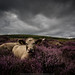 Cows In Heather