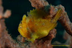 No fish today, I am hungry ! (kayak_no1) Tags: macro uw indonesia nikon underwater scuba diving scubadiving frogfish supermacro underwaterphotography 105mm diopter 105mmvr lembehstrait subsee10 nauticamhousing d800e ysd1