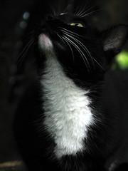 Pantherchen (H.P. Brinkmann) Tags: portrait white black animal cat kitten feline chat domestic gato gata felino katze weiss haustier schwarz tier chatte flin gatta kotka weis hauskatze kocica felissilvestrisfcatus