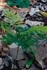 Peltophorum pterocarpum (Lauren Gutierrez) Tags: flower tree yellow fabaceae guam invasive peltophorum pterocarpum copperpod peltophorumpterocarpum