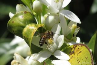 bee on orange flower - ape su fiore di arancio