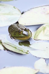Frog (historygradguy (jobhunting)) Tags: plants ny newyork water animal amphibian upstate frog hydepark lilypad dutchesscounty hudsonvalley vanderbiltmansion