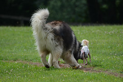 """Zarro and LuLu Going For the Flag Part 11 • <a style=""""font-size:0.8em;"""" href=""""http://www.flickr.com/photos/96196263@N07/14882908625/"""" target=""""_blank"""">View on Flickr</a>"""