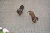 Flash test (Kenneth Gerlach) Tags: denmark dachshund hund zealand danmark dackel haslev sjælland seeland ✔ gravhund dänemark troelstrup ruhåret ruhåretvizsla