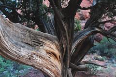 Etchings In The Bark (Christina Fong) Tags: arizona tree nature words etching sedona bark