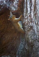 Squirrel Foraging in the Trunk of a Tree (Orbmiser) Tags: summer tree oregon portland nikon squirrel wildlife trunk d90 55200vr