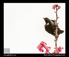 Tui 08 (Black Stallion Photography) Tags: pink newzealand black bird photography spring high key branch image blossom wildlife perch parson stallion tui nzbirds igallopfree