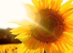 Clear Meadow Farm - Maryland (PhyllisLynn) Tags: flowers sunset nature sunflowers sunflare clearmeadowfarm