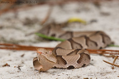 Agkistrodon contortrix (Kevin Stohlgren) Tags: sony southern ssm a77 copperhead agkistrodon contortrix sal70400g 70400g