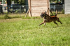 MDH-3280 (Highway0311) Tags: jason dutch cali work french photography highway shepherd echo canine des ring sniper devo bite zippy karma mali davis malinois jumps k9 chino decoy kharma esquive highwayphotography