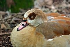 Oca Egiziana (Alopochen aegyptiaca) (Ciminus) Tags: nature birds garden goose egyptian ocaegiziana