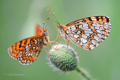 Melitaea deione (Provencal Fritillary, spaanse parelmoervlinder) (Rob Blanken) Tags: macro butterfly courting melitaeadeione nikond800 provençalfritillary sigma180mm128apomacrodghsm spaanseparelmoervlinder spaanseparelmoervlindermelitaeadeione
