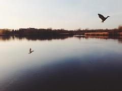 Mystic River fly by (AnthonyTulliani) Tags: bird nature water birds river landscape duck iphone vsco iphoneography vscocam