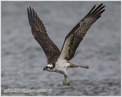 Osprey with fish in talons (Mike Black photography) Tags: new blue wild bird heron nature birds animal canon river lens photography shark is big outdoor year great watching birding nj aves shore jersey l usm egret fluke 800mm