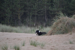 Sea Fever (mitchell_dawn) Tags: sea dog beach sand dunes norfolk bordercollie wellsnextthesea