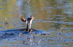 little pied cormorant  (Microcarbo melanoleucos)-3-2 (rawshorty) Tags: birds australia canberra act jerrabomberrawetlands rawshorty