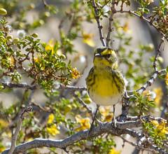 Warbler, Townsend (Dendroica townsendi) (kikapookid) Tags: bird birds joshuatree townsend animalia warbler 2015 passerine perchingbird yahtzee38 yahtzeetrips