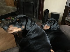 Twins - Doberman Pinschers Dolce and Gabbana (firehouse.ie) Tags: dog black dogs female sisters germany puppy hell guard tan hound dolce german devil doberman breed dobie pinscher hounds loyal k9 blackandtan dobe gabbana dobermann dobies dobermans dobes pinschers dobermanns dobetmann