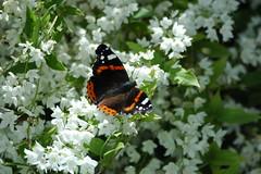 ... in attesa della primavera. (antosti) Tags: padova giardino farfalla sole fiori bianchi nikon d70s vanessaatalanta macro papillon butterfly schmetterling