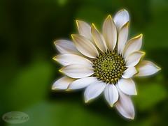 Margarita (PictureJem) Tags: flor flower nature naturaleza