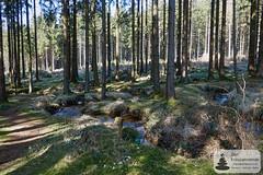 Quellbach auf dem Trauntal-Höhenweg (Frank Hamm) Tags: deutschland rheinlandpfalz hunsrück traumschleife wandern naturpark wald forrest bach creek moos moss